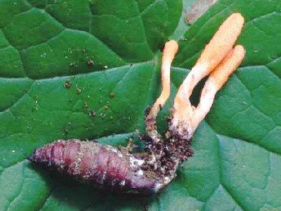 Nấm Đông Trùng Hạ Thảo loài Cordyceps militaris có thân nấm màu cà rốt