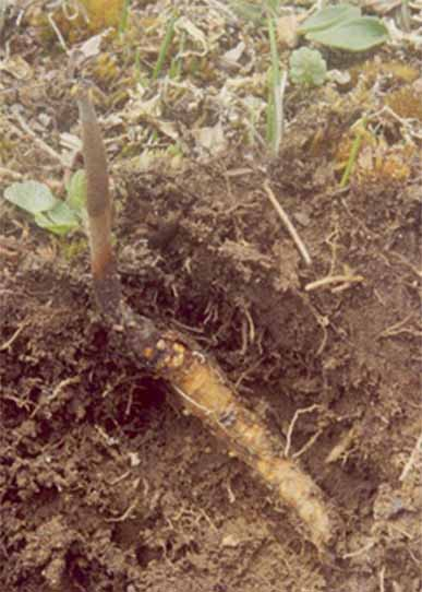 Đông Trùng Hạ Thảo,hình ảnh đông trùng hạ thảo,dong trung ha thao,Cordyceps sinensis