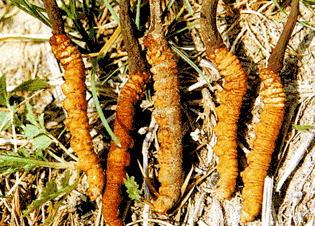 Đông Trùng Hạ Thảo loài Cordyceps sinensis tự nhiên có thân nấm màu nâu sẫm