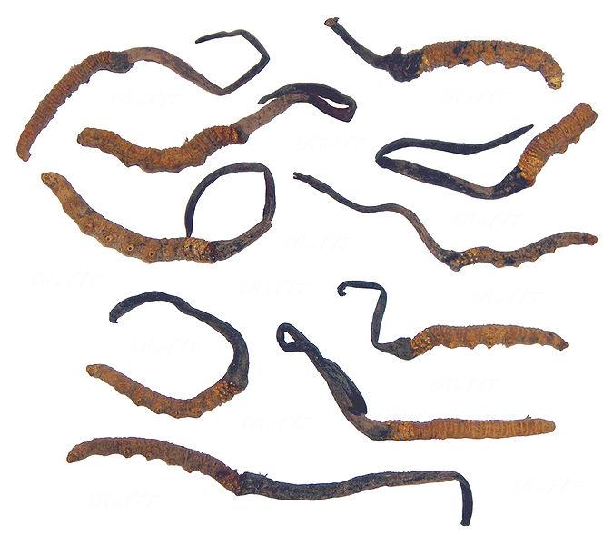 Đông Trùng Hạ Thảo Tây Tạng- Trung Quốc loài Cordyceps sinensis khô